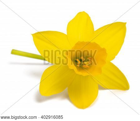 Yellow Daffodil Flower Isolated On White Background