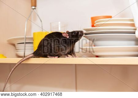 Rat Crawls In The Kitchen On Dishes And Looking For Food. The Concept Of Rodents In The House.