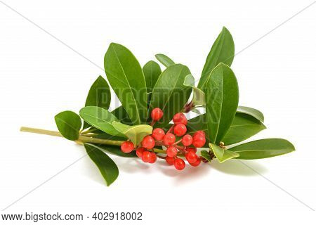 Skimmia Japonica Branch With Red Berries Isolated On White Background