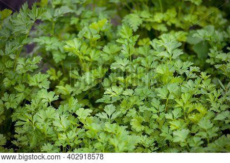 Parsley Or Garden Parsley (petroselinum Crispum), Species Of Flowering Plant In The Family Apiaceae