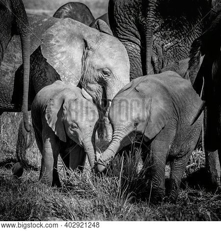 African elephant calves, loxodonta africana, protected by the older herd members. Black and white image of a family group in Amboseli National Park, Kenya.