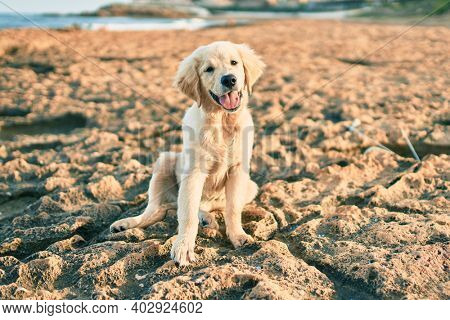 Beautiful and cute golden retriever puppy dog having fun at the beach sitting on the golden sand. Lovely labrador purebred at the shore on summer