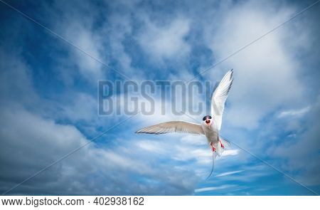 The Arctic tern or Sterna paradisaea, family Laridae. A seagull attacks a predator defending its nest. Photo of an aggressive gull in flight. Coast of Iceland, Europe. Discover the beauty of earth.
