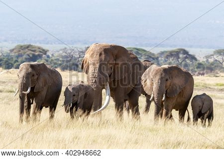 A large bull elephant walks with a herd of females and young through the long grass of Amboseli National Park, Kenya