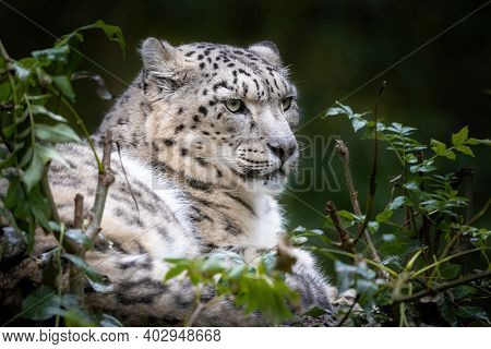 Crouching adult snow leopard, panthera uncia, with foliage habitat background. This vulnerable big cat is indigenous to the mountains of central and south Asia.