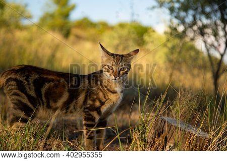 Tabby Cat On A Sunny Hillside Looking Wild.  A Beautiful Female Tabby Tortoiseshell On A Sunny Hill