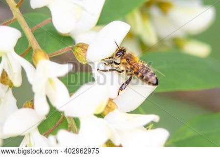 Flying Honey Bee Collecting Bee Pollen From Acacia Blossom. Bee Collecting Honey.