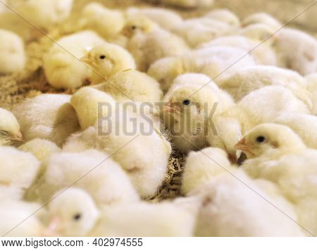 Yellow Baby Chickens Were Grrounding In The Farm To Started Feeding In The Chicken Farm Business