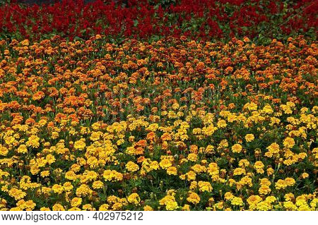 Field Of Yellow And Orange Marigold And Salvia Splendens, Scarlet Sage Or Tropical Sage In Summer Ga