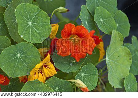 Nasturtium Flower, Indian Cress Or Tropaolum Majus In The Summer Garden, Jeleznitsa,  Bulgaria