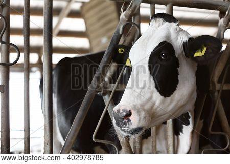 Pretty Cow Near Fence On Farm, Closeup. Animal Husbandry