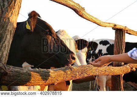 Young Woman Feeding Cows With Hay On Farm, Closeup. Animal Husbandry