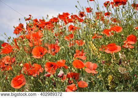 Lots Of Beautiful Blossom Poppies In A Bright Summer Image