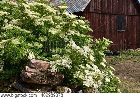 Beautiful Blossom Elderflowers Shrub By An Old Barn