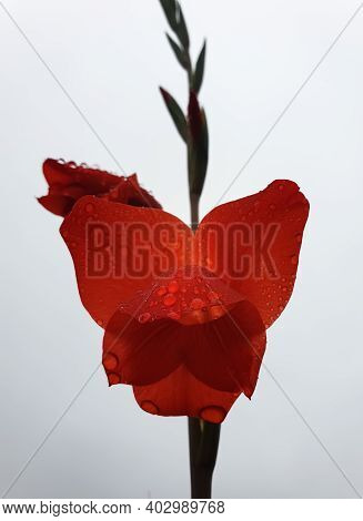 Macro Of Red Gladiolus With Raindrops, Beautiful Red Flower With Water Drops Isolated - Stock Photo