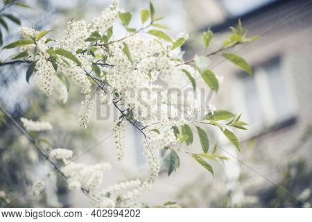 Branch Of The Blossoming Bird Cherry In The Spring Against The Background Of A Brick House.