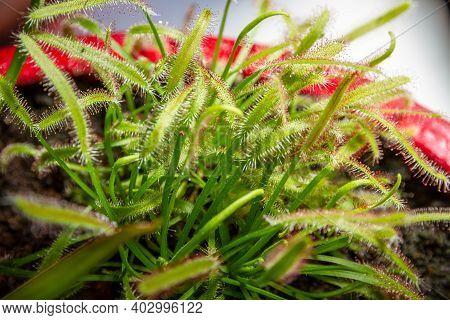 Sundews Carnivorous Plant. Drosera Capensis Close-up View