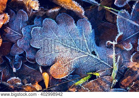 beautiful autumn oak leaf covered with hoarfrost