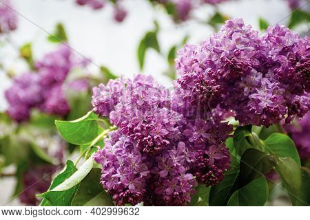 Wet Lilac Blossom On The Branches. Beautiful Nature Background In Springtime