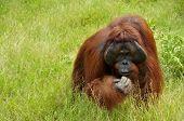 Orangutan enjoying his lunch, Camp Leakey, Kalimantan, Indonesia poster