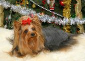 Portrait of Yorkshire Terrier under the Christmas Tree poster