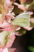 A small white butterfly on pink hortensia poster
