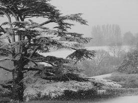 Cedar In A Snowstorm