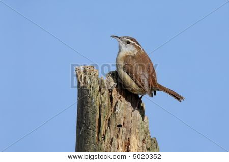 Carolina Wren (Thryothorus ludovicianus) on a tree stump with a blue sky background poster