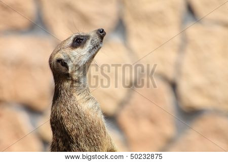 Alert meerkat (Suricata suricatta) standing on guard animal poster