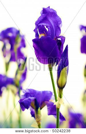 Dalmation Iris