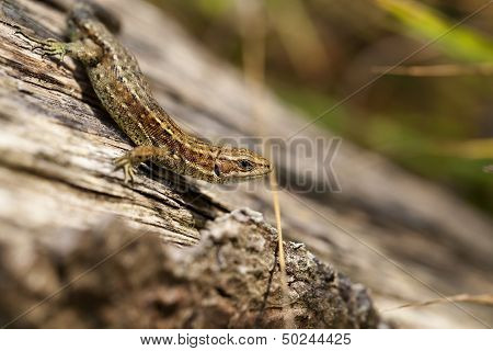 Lizard - side view