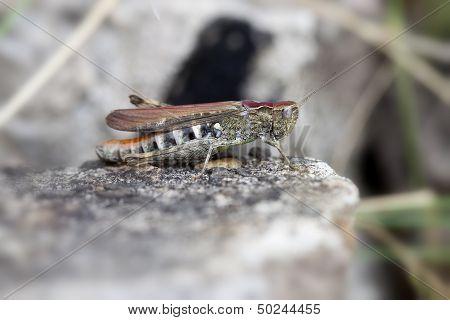Brown grasshopper - macro shot