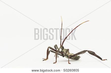 Assassin Bug On White Background