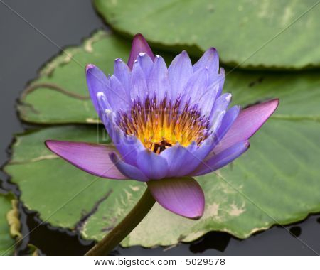 Blue Yellow Water Lily And Pads