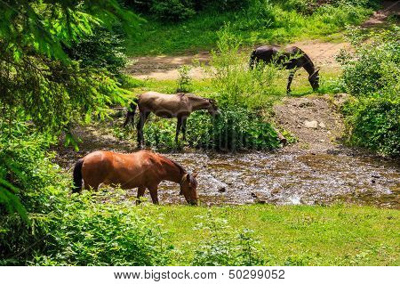 Three Horses Watering On A Forest Creek. Horizontal