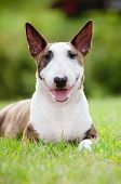 brindle english bull terrier breed dog outdoors poster