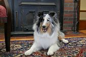 one pretty Sheltie dog headshot portrait in a living room natural setting poster