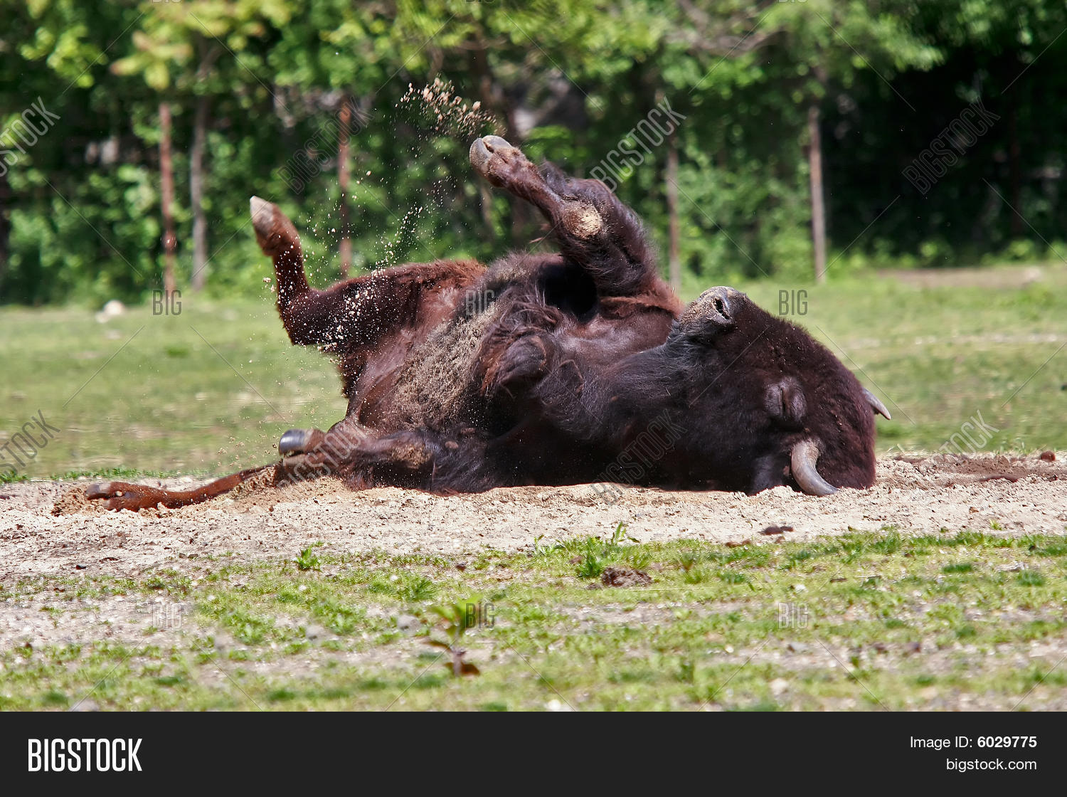 Bison Removing Image Photo Free Trial Bigstock