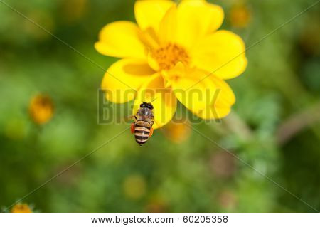 Bee on the flower, bee busy drinking nectar from the flower, sweet flower with bee.