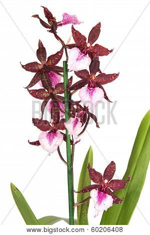 cambria orchid flower