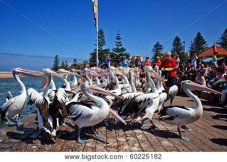 Volunteers feed a large group of Australian Pelicans