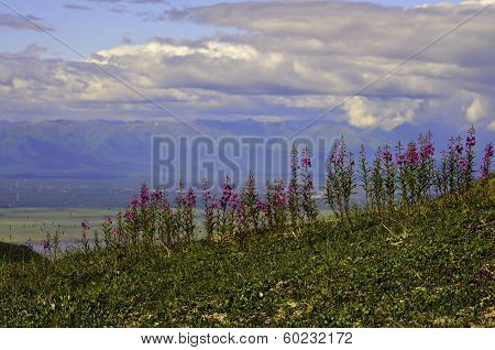 Fireweed mountain