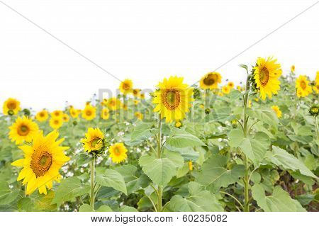 Blooming Field Of A Sunflower