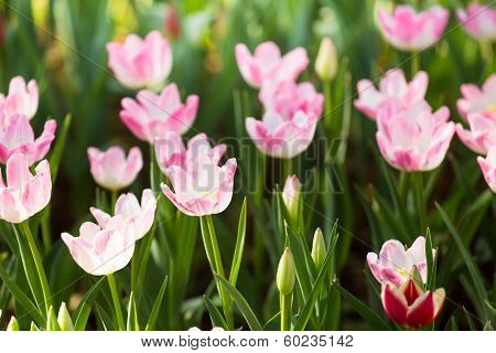 Pink Beautiful Tulips Field
