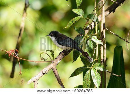 Dark-backed Sebia (malacias Melanoleuca)