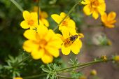 Bee on the flower, bee busy drinking nectar from the flower, sweet flower with bee. close up bee and flower. poster