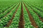Field with rows of vibrant green crop plants on dark fertile soil poster