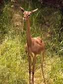 Gerenuk standing in a field. poster
