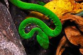 Green snake Green pit viper or Asian pit viper in ground forest poster