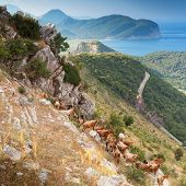 Herd of goats in Montenegro mountains on the sea coast poster